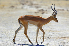 Impala at the waterhole Stock Photography