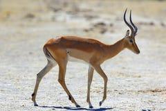 Impala at the waterhole Stock Photography