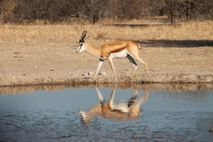 Impala at waterhole. In game reserve of Botswana Royalty Free Stock Photos