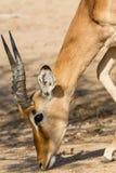 Impala Weidende Close-up stock fotografie