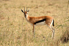 impala in the wild stock photography