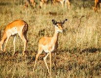 Impala in wild Stock Image