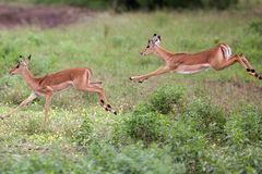 Impala in the wild Royalty Free Stock Photos