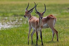 Impala in the wild stock photo