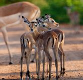 Impala in the wild Royalty Free Stock Images