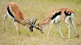 Impala in the wild Stock Photos