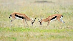 Impala in the wild stock image