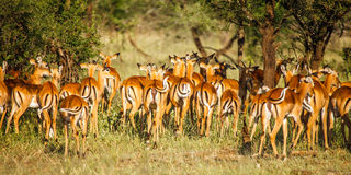 Impala in wild Royalty Free Stock Photography