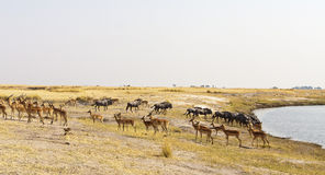 Impala and Wildebeets merging at water hole Royalty Free Stock Image