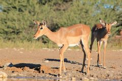 Impala - Wildlife from Africa - Animal Mothers Royalty Free Stock Images