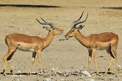 Impala - Wildlife Background from Africa - Brother Bond Stock Images