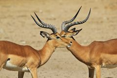 Impala - Wildlife Background from Africa - Brother Symmetry Stock Image