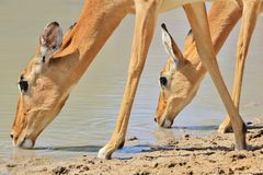 Impala - Wildlife Background from Africa - Double Drink Stock Image