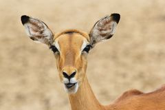 Impala - Wildlife Background from Africa - Funny Nature Royalty Free Stock Images