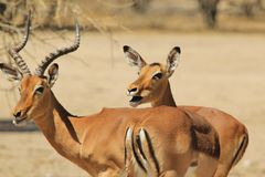 Impala - Wildlife Background from Africa - Funny talk of a red couple. An Impala ram and ewe chew on Camel Thorn pods, making them appear to be talking.  Funny Stock Images