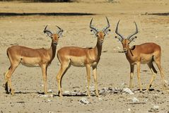 Impala - Wildlife Background from Africa - Trio of Brothers Royalty Free Stock Image