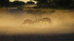 Impala - Wildlife Background - Fight Club in Nature Royalty Free Stock Photos