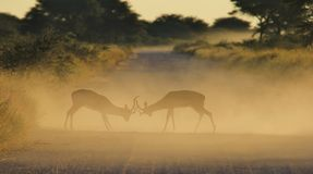 Impala - Wildlife Background - Fighting Rams Royalty Free Stock Photo