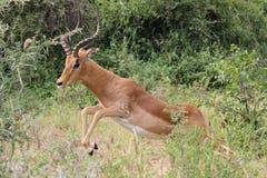 impala y x28; Melampus del Aepyceros y x29; Imagen de archivo