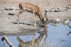 Impala y x28; Melampus& x29 del Aepyceros; Antílope en un agujero de agua Fotos de archivo