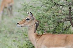 Impala y x28; Melampus& x29 del Aepyceros; con Oxpecker& Rojo-cargado en cuenta x27; s en Tanzania Foto de archivo libre de regalías