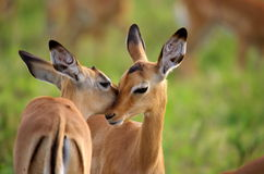 Impala. Young impalas leaking each other Stock Photo