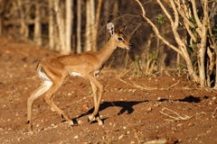 Impala young in soft morning light, Botswana Royalty Free Stock Photo