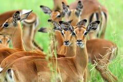 Impala-züchtend Herde Stockfoto