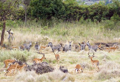 Impala and Zebra. A herd of zebras and impala gazelles grazing Royalty Free Stock Image
