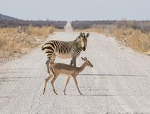 Impala And Zebra. An Impala and  Zebra crossing a dirt track in Namibia Stock Photo
