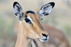 Impala, zwart-Onder ogen gezien Impala, Aepyceros-melampuspetersi stock fotografie