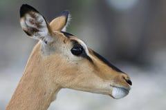 Impala, zwart-Onder ogen gezien Impala, Aepyceros-melampuspetersi royalty-vrije stock afbeeldingen