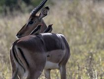 ImpalaAepycerosmelampus royaltyfri bild