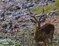 ImpalaAepycerosmelampus, belägen mitt emot kamera arkivbild