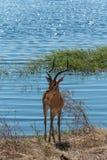 Impalaanseende på den Chobe riverfronten Botswana Afrika Arkivbilder