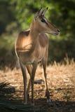Impalaantilope Lizenzfreie Stockbilder