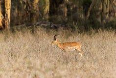 Impalaantilope in Kenia - Aepyceros melampus lizenzfreies stockfoto