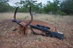 Impalaantilope und -gewehr erwachsener Mann der Trophäe nach der Jagd stockfotografie