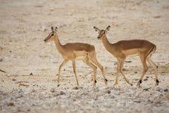 Impalaantilopen Lizenzfreie Stockfotos