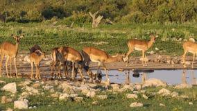 Impalaantilopen bij een waterhole stock video