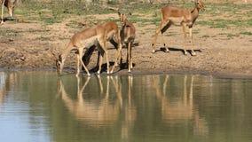 Impalaantilopen bij een waterhole stock footage