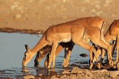 Impalaantilopen bij waterhole Royalty-vrije Stock Afbeelding