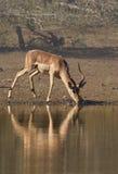 Impalabezinning Stock Fotografie