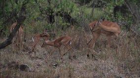 Impalafamilie stock video