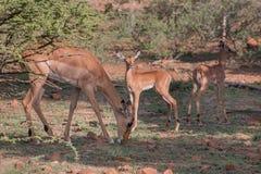 Impalafamilie Stock Fotografie