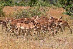 Impalaflock Royaltyfri Fotografi