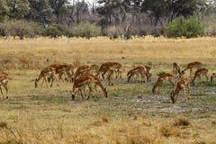 Impalaflock som betar på de öppna slättarna royaltyfria foton