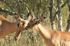Impalafrau Lizenzfreies Stockfoto