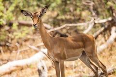 Impalafrau in Botswan Stockbilder