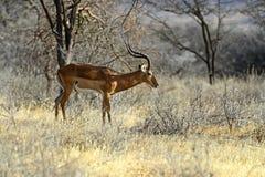 Impalagazelle Stock Afbeeldingen